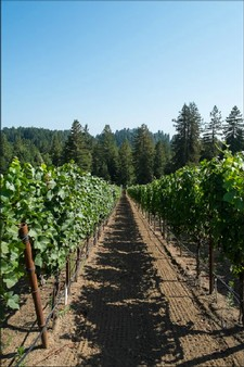 Vineyard rows redwoods